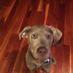 Walt's a one-year old Silver Labrador Retriever